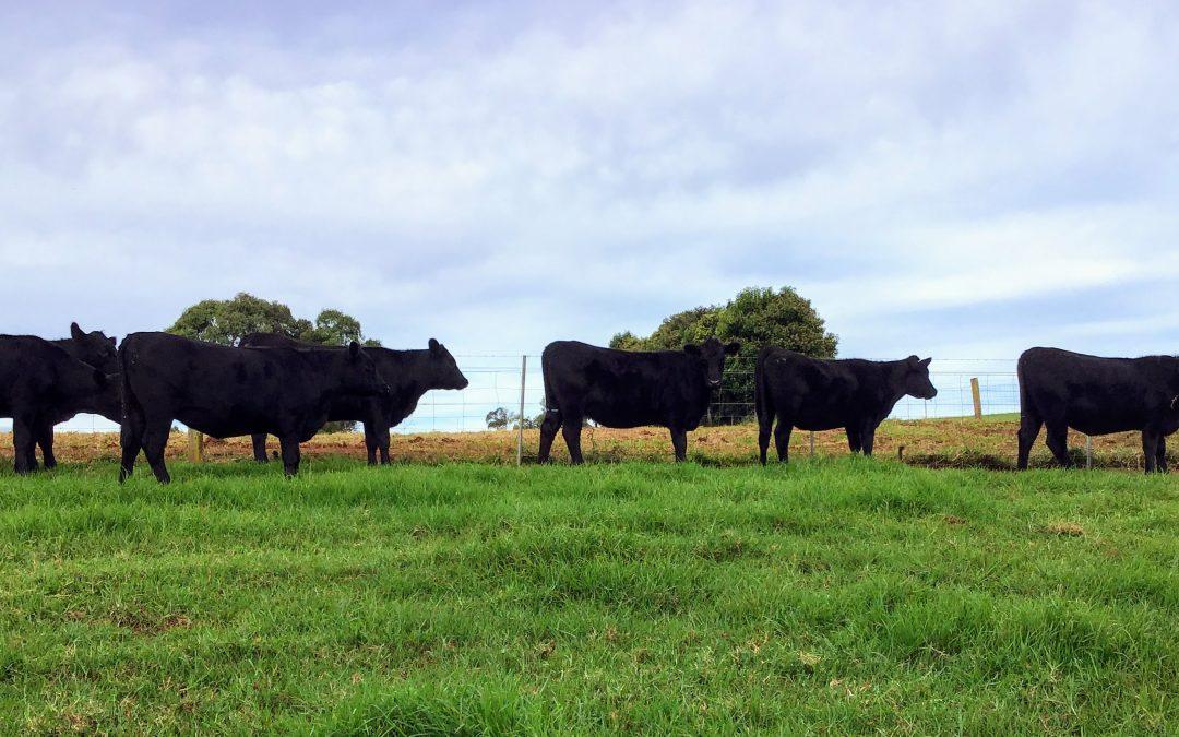 Return Buyer for Stud Heifers